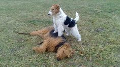 Fox terrier playing with an airedale. Of course the fox terrier would win.