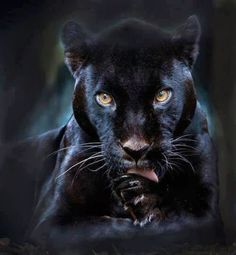A black panther is typically a melanistic color variant of any of several species of larger cat. In Latin America, wild 'black panthers' may be black jaguars; in Asia and Africa, black leopards ; Beautiful Cats, Animals Beautiful, Simply Beautiful, Beautiful Creatures, Magical Creatures, Beautiful Gorgeous, Big Cats, Cats And Kittens, Siamese Cats