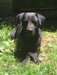 Hutch - Black Labrador Retriever