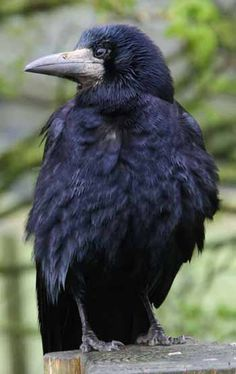 Rook (Corvus frugilegus) is similar to the Carrion crow, only slightly smaller. They are distinguished by the bare grey-white skin around the base of the adult's bill in front of the eyes.