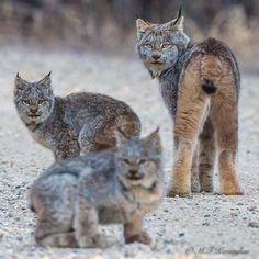Lynx family, Riding Mountain National Park - Murray Kay (@mfkphotography.ca) on Instagram