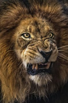 African lion (Panthera leo) Izu is a grumpy cat in the rain. Photo by Anita Ross at the San Diego Zoo Safari Park. Angry Animals, Animals And Pets, Cute Animals, Lion Images, Lion Pictures, Big Cats, Cool Cats, Lion Head Tattoos, Lion Tattoo