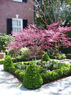 Red bud trees surrounded by boxwood hedge gives the front yard spring color and . - Red bud trees surrounded by boxwood hedge gives the front yard spring color and a formal landscape -