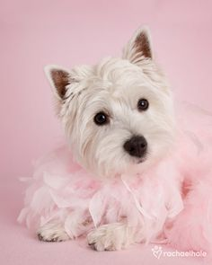 i want this west highland white terrier!