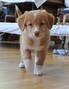 Nova Scotia Duck Tolling Retriever puppy i want one of these so bad Super Cute Puppies, Cute Baby Dogs, Cute Little Puppies, Cute Dogs And Puppies, Cute Little Animals, Cute Funny Animals, Doggies, Baby Animals Pictures, Cute Animal Photos