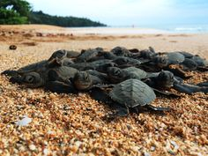 Sea turtles of São Tomé: Selling what can't be sold