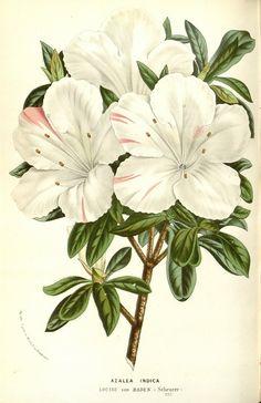 Azalea Indicus taken from Flore des serres et des jardins de l'Europe (1862-1865). Louis van Houtte (1810–1876)