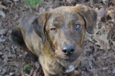 Pesto is an adoptable Labrador Retriever Dog in Alpharetta, GA. Pesto is a mellow, sweet girl that loves to give kisses. She is the very definition of a 'velcro dog' and will follow you from room to r...