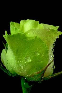Free Green Rose Wallpaper for your Smartphone and Mobile Phone