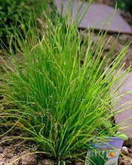 Kifejlett snidling (metélőhagyma) növény