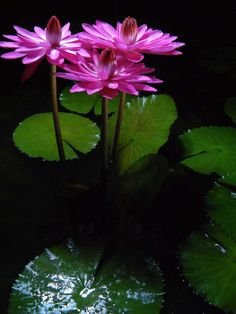 PinkNight Night bloom tropical waterlily