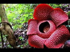The Largest Flower in the World. with recent flowers found measuring up to feet) across. There are 55 species of Rafflesia, of which 9 are found in Borneo Unusual Plants, Rare Plants, Cool Plants, 25 Years Ago Today, Orchid Mantis, Corpse Flower, Plant Fungus, Borneo, Large Flowers