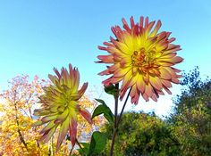 """Colorful October dahlias stand tall against an autumn backdrop in the Lake Country District of the Okanagan Valley in British Columbia, Canada. """"Splendid October Dahlias"""" #SplendidOctoberDahlias #AutumnDahlias #WillBorden"""