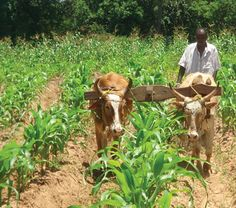 tobacco fields in tanzania