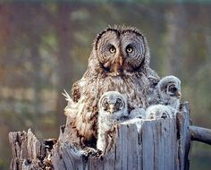 ⚜️ Add charm to your home with Great Grey Owl Family Bird Wildlife Animal Wall Decor Art Print Poster from Baby Owls, Baby Animals, Cute Animals, Owl Babies, Small Animals, Funny Animals, Wild Animals Photography, Wildlife Photography, Vision Photography