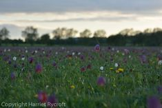 Friday Flora – Fritillaria meleagris | A Parrot's Nest Nature Reserve, 2017 Background, Wild Flowers, Flora, Friday, Scene, Sunset, Planting, Sunsets