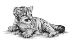 Browse through a collection of wildlife paintings and drawings by Richard Symonds. The majority are available as limited edition prints to buy from this shop. Tiger Sketch, Tiger Drawing, Baby Drawing, Pencil Drawings Of Animals, Animal Sketches, Drawing Animals, Realistic Drawings Of Animals, Art Drawings, Wildlife Paintings