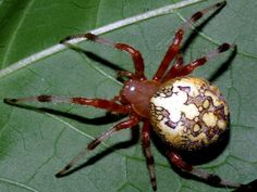 Marbled spider - Araneus is a genus of common orb-weaving spiders. It includes about 650 species, among which are the European garden spider and the barn spider. URL: http://wolfspider.org/