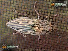 large flathead pine heartwood borer beetle