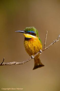 Little Bee-Eater 1, Samburu Game Reserve, Kenya