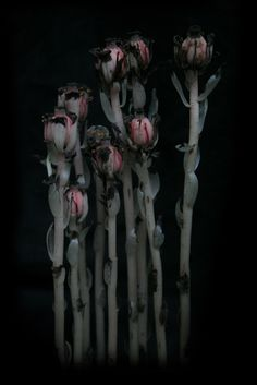 Exotic Plants, Exotic Flowers, Red Flowers, Ghost Plant, Dark Green Aesthetic, Gothic Garden, Midnight Garden, Poisonous Plants, Season Of The Witch