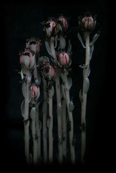 Monotropa uniflora - Indian Pipe   by c.buelow