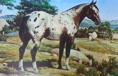 Appaloosa Horse by Orren Mixer