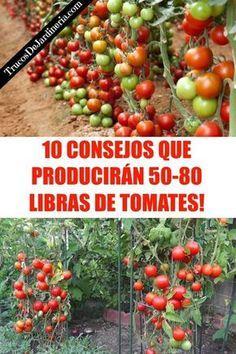 Consejos Que Producirán un Montón de Tomates #tomates #huerta #trucosdejardineria #jardineria