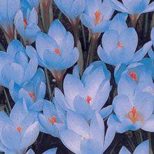 Krokus - 100 blue botanical