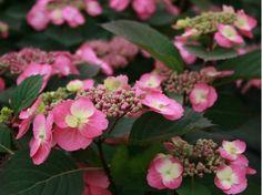 vente en ligne- Nouvelle variété d'Hydrangea serrata. Cotton Candy est très résistant au froid, il fleurit tous les ans même en cas de gel tardif. De jolies fleurs doubles roses-rouge au cœur jaune évoluant au rose.