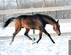 Akhal-teke horses for sale - Muzafar(Murgab - Fariza)
