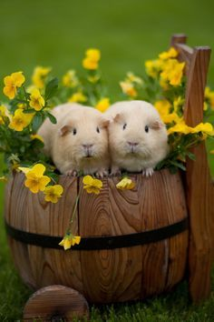 ♥ Small Pets ♥  Guinea pigs (by AnDDDre)