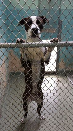 Seymour is a current resident of Cranston Animal Control.  In fact he has been there longer than any other dog they have on the adoption floor and we can't figure out why because he is such a love!  He is good with other dogs and just a happy,...