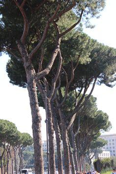 #ItalianStonePine trees line the street between the #Colosseum and #CircoMassimo