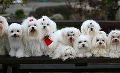 """Have a safe Labor Day Weekend 2014!"" #dogs #pets #Maltese  Facebook.com/sodoggonefunny"