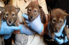 The Daily Wild: Three Endangered Red Wolf Pups Born