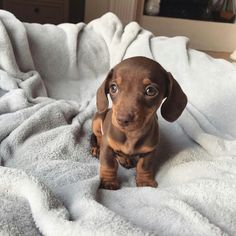 Weenie Dogs, Dachshund Puppies, Pet Dogs, Dog Cat, Dapple Dachshund, Chihuahua Dogs, Doggies, Dachshund Clothes, Dachshund Gifts