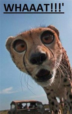 Funny pictures about Cheetah Derping Into The Camera. Oh, and cool pics about Cheetah Derping Into The Camera. Also, Cheetah Derping Into The Camera. Animal Jokes, Funny Animal Memes, Cute Funny Animals, Funny Animal Pictures, Cute Baby Animals, Funny Cute, Animals And Pets, Cute Cats, Funny Photos