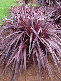 Cordyline x 'Jurred': This plant is duly named 'Festival Grass' as it appears to be having a party all by itself.