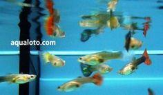 Hembras de pez guppy , uno de los peces más populares del acuario, es fácil de cuidar y es de gran belleza.   #peces #animales  #guppys