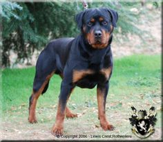 lewis crest rottweilers-rottweiler puppies for sale in california