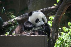 Day 2 Panda at San Diego Zoo | Flickr - Photo Sharing!