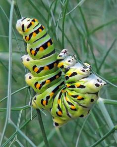 Black swallowtail caterpillar having lunch by Vicki's Nature, via Flickr