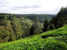 Chogoria tea farms - what a view! #Kenya #Chogoria #travel #tea