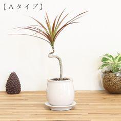 コンシンネドラセナ Cactus Plante, Dragon Tree, Purple Plants, Ficus, Tropical Garden, Houseplants, Plant Hanger, Bonsai, Indoor Plants