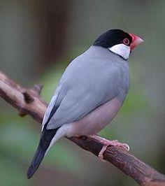 Fotos de Pássaros Ornamentais 1 Clique no meio da imagem para abrir uma apresentação de slide.
