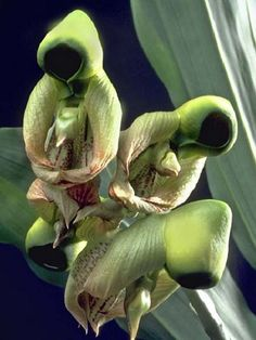 Uncommon Flowers around the World | 25 Rare and Weird Flowers that Look Like Something Else Around the ... Strange Flowers, Unusual Flowers, Wonderful Flowers, Rare Flowers, Different Flowers, Beautiful Flowers, Orchid Flowers, Cactus Flower, Lilies Flowers