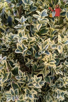 Buxus sempervirens 'Variegata' / Variegated English Boxwood. Small leaves are rich deep green edged in creamy margins. Evergreen. Zones 5-9.