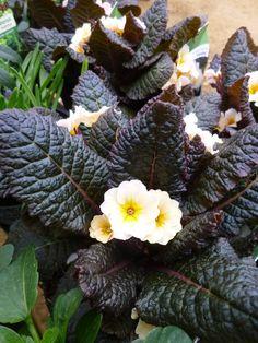 Primula vulgaris 'Kennedy Dunbeg' - The Teddington Gardener Dark Flowers, Types Of Flowers, Spring Bulbs, Begonia, Spring Garden, Clematis, Cherry Blossom, Color Mixing, Perennials