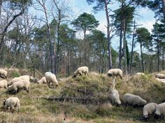 Le retour des moutons en forêt de Fontainebleau #Fontainebleau #Foret
